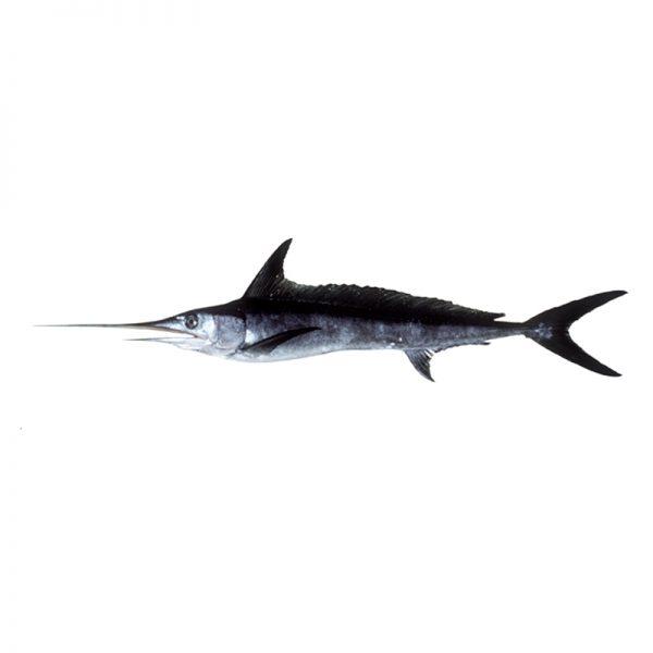 Palamidas Frozen Seafood | ΨΑΡΙΑ | ΞΙΦΙΑΣ | ΚΑΤΕΨΥΓΜΕΝΟ | ΙΝΔΙΚΟΥ ΩΚΕΑΝΟΥ | ΙΝΔΙΚΟΥ ΩΚΕΑΝΟΥ